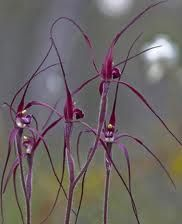 Blood Spider Orchids from West Australia
