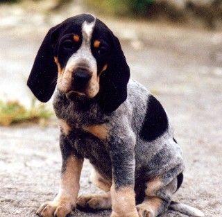 Petit Bleu de Gascogne (?) Puppy