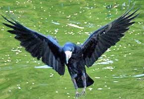 Le corbeau freux   Univers Nature – Actualité, environnement, habitat et santé