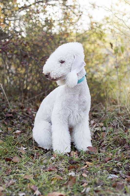 Bedlington terrier III - null