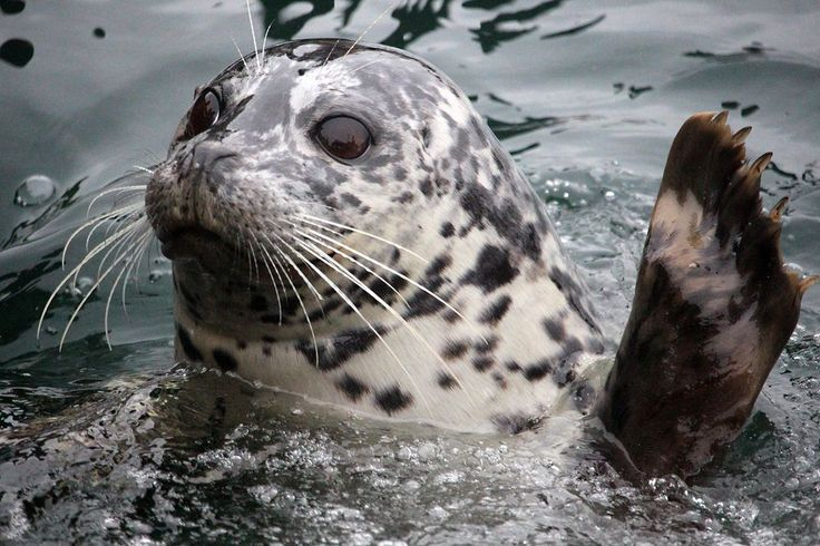 I often visit the harbour seals at Fisherman's Wharf in Victoria.  This little…