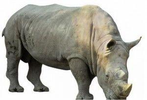 Badak Bercula Satu ujung kulon - Rhinoceras Sundaicus