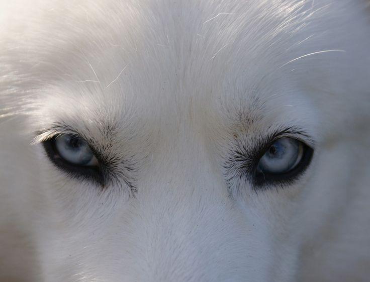 Husky, Eyes, Blue, Dog, Siberian, Doggy, Arctic, Polar
