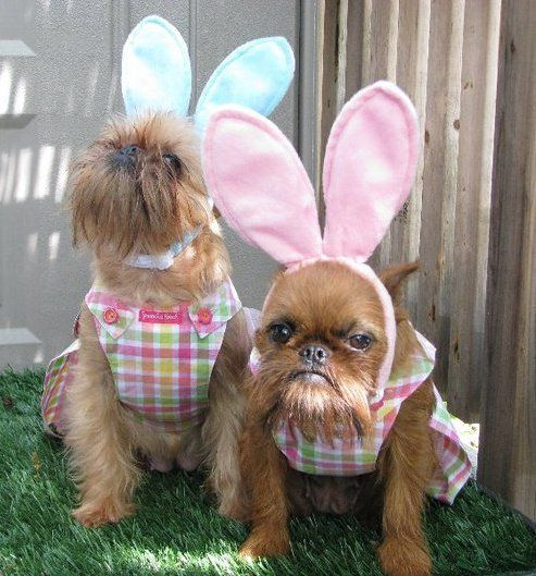 Easter Brussels Griffons! Vote for our pic so our mom can save animals all over the world! http://www.vetprep.strutta.com/entry/5941340