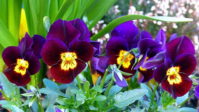 Growing Pansy Flower How To Grow Pansy Growing Pansies In Containers Naturebring In 2020 Pansies Flowers Pansies Flowers Name In English