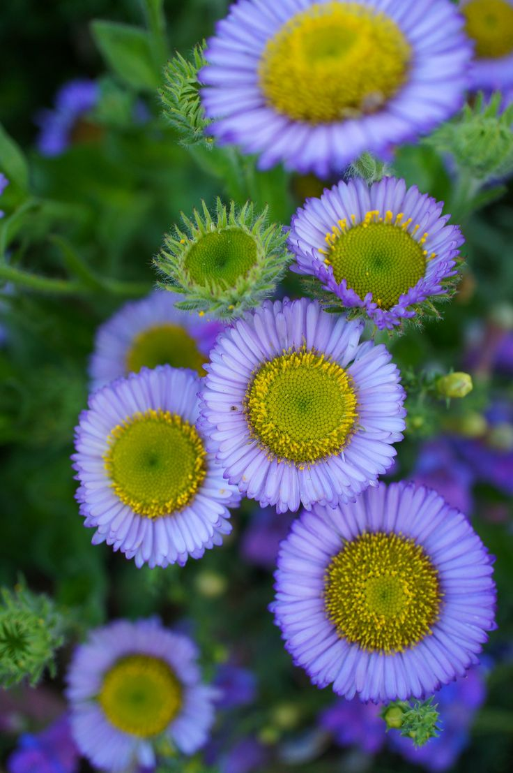~~Seaside Daisy (Erigeron glaucus) | a California native by flora-file~~