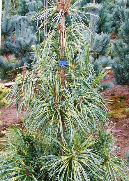 Pinus koraiensis Oculus Draconis 3