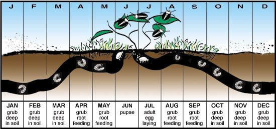 Japanese Beetle Control for the Plum Trees: Plant GARLIC & CHIVES to deter. Beetles begin emerging in MID MAY AND EARLY JUNE - KILL THESE FIRST SCOUTS IN SOAPY WATER & APPLY NEEM OIL!!!