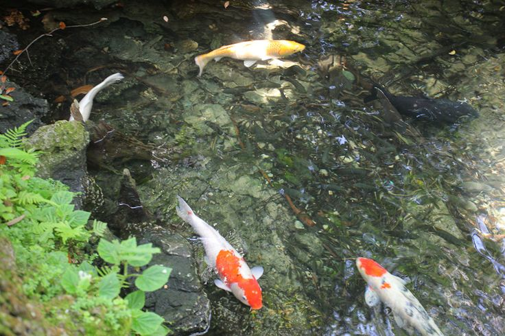 17 best images about pinecrest gardens on pinterest for Koi fish games