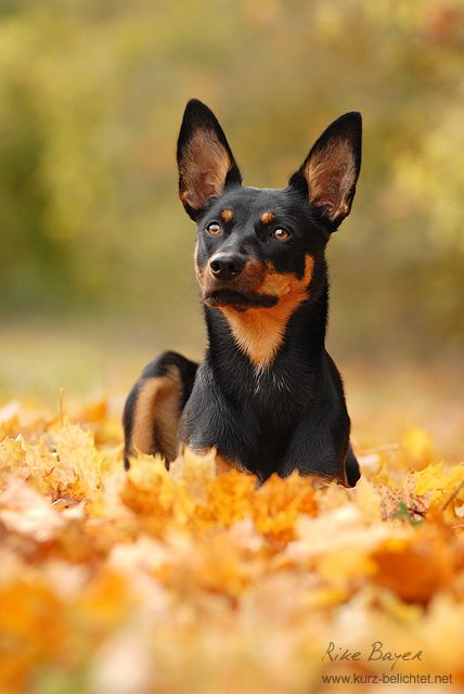 Autumn by Unfrozenduck on deviantART (Australian Kelpie)