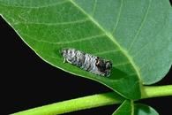 Codling Moth. Goes after apple and pear trees. Good info on how to treat.