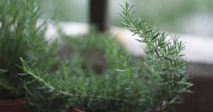 Wystarczy jeden głęboki wdech aromatu tego cudownego zioła!