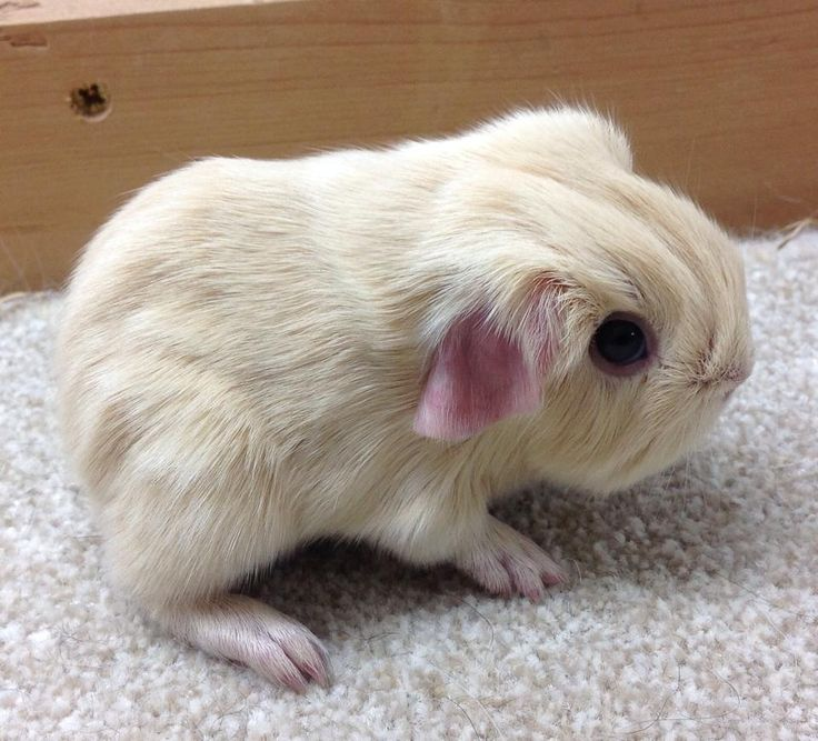 Baby guinea pig...such big eyes