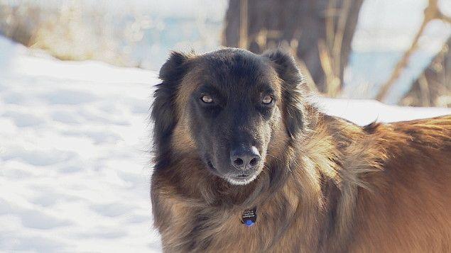 Un chien entraîné par un chercheur de l'Université deCalgary, en Alberta, s'avère un instrument essentiel pour retrouver des traces d'une espèce de singes parmi les plus menacées sur Terre.