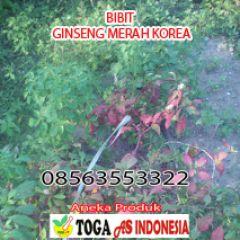 Bibit ginseng merah korea