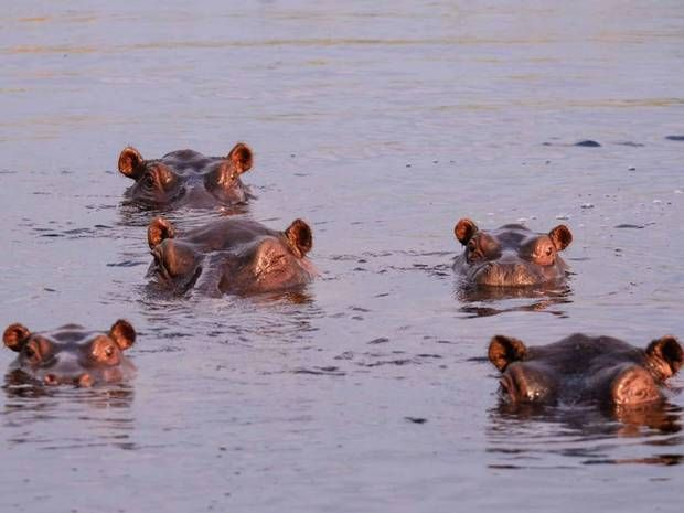 Safari in Namibia: Hippo spotting in Bwabwata National Park - Africa - Travel - The Independent