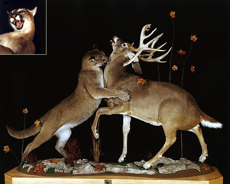 27 best images about Awesome Deer Mounts on Pinterest ...