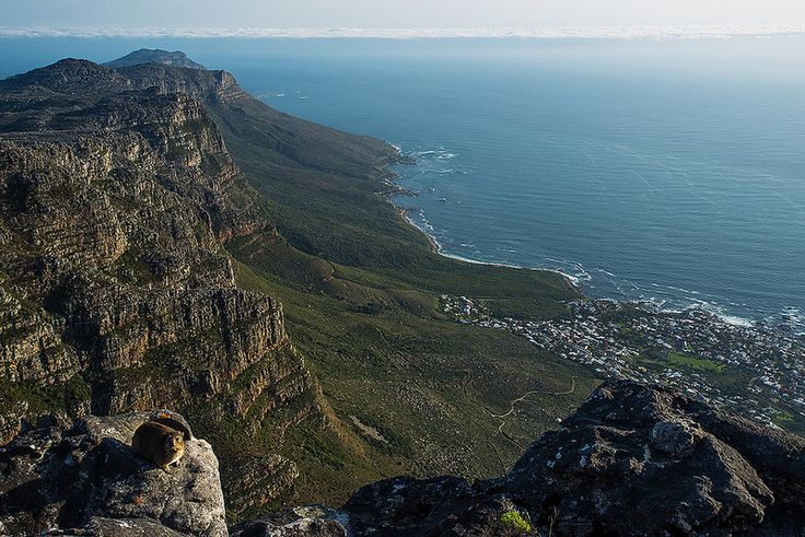 Top of Table Mountain, with dassie.  View of Camps Bay.  Cape Town South Africa.