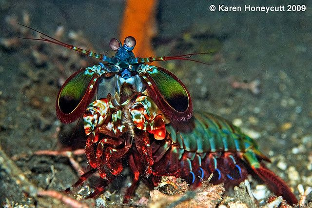 Mantis shrimp or stomatopods are marine crustaceans, the members of the order Stomatopoda. Description from imgarcade.com. I searched for this on bing.com/images