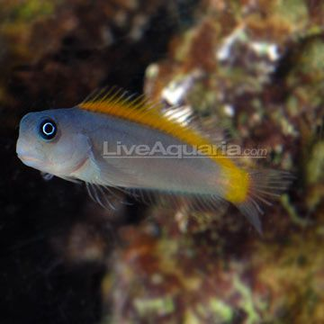 59 best solana reef tank images on pinterest reef aquarium fish blue gold blenny fandeluxe Choice Image