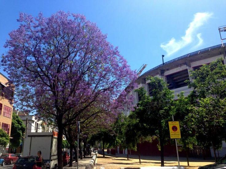 Gli alberi intorno allo stadio a Siviglia sono pieni di fiori viola. Sarà un buon segno?   Foto di Claudio Giovannini Cge