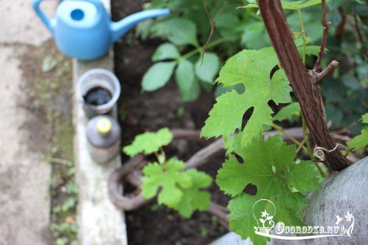 Подкормка винограда: минеральные и органические удобрения для винограда, сроки и нормы внесения, рецепты корневых и внекорневых подкормок, а также секреты урожайности….