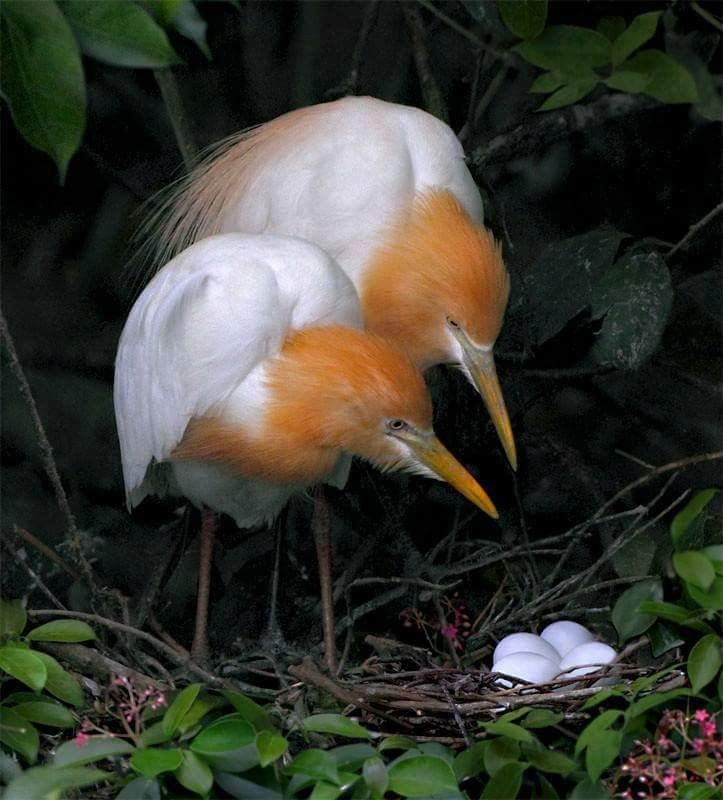 Cattle Egret parents waiting for the eggs to hatch :)