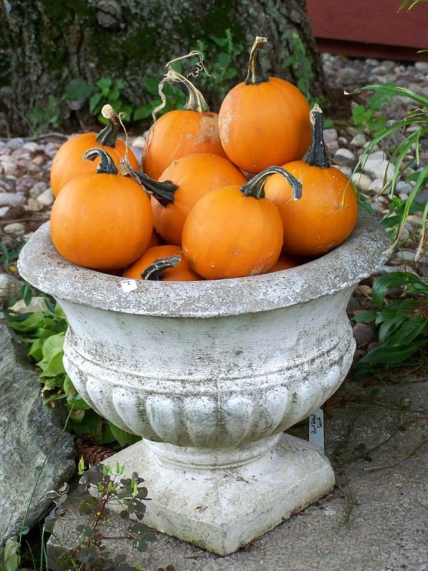 old weathered urn full of pie pumpkins. autumn fall decor porch farm