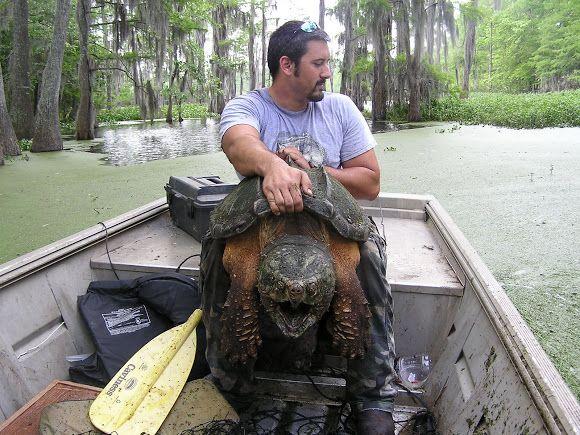 Biggest Alligator Ever Caught | Alligator Snapping Turtle ...  Biggest Alligat...