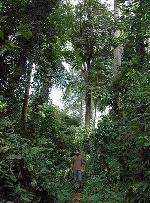 Path in the Central African rainforest inhabited by Bakola Pygmies  (Bakola-Bagyeli Pygmies - Cameroon)