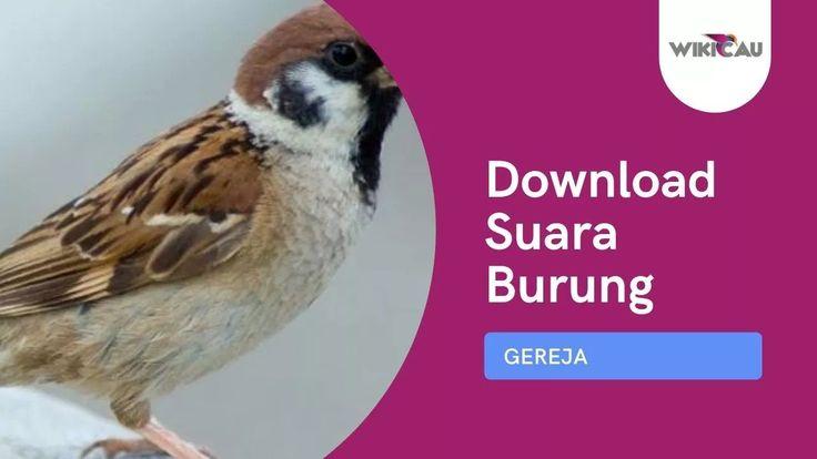 Download Suara Burung Gereja Tarung Untuk Masteran Mp3 Di 2021 Gereja Suara Burung