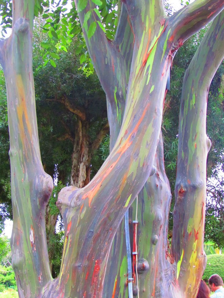 Rainbow Eucalyptus ~ Hana, Maui, Hawaii. The unusual phenomenon is caused by patches of bark shedding at different times. The different colours are therefore indicators of the age of the bark: Freshly shed outer bark will reveal the bright green inner bark. This darkens over time and changes from blue to purple and then reaches orange and maroon tones.