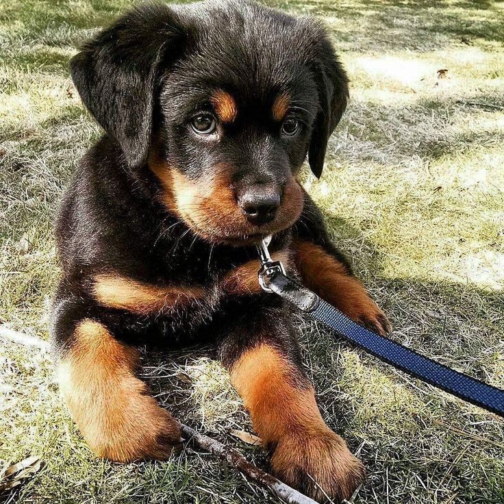 I love rotties obviously ❤️ - Tap the pin for the most adorable pawtastic fur baby apparel! You'll love the dog clothes and cat clothes