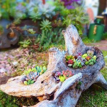 Pinterest • 世界中のおしゃれアイデアまとめ 流木の多肉寄せ植え2015秋の画像 by Tenさん | 小さな庭と