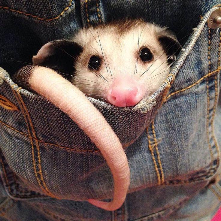 Sesame the Opossum