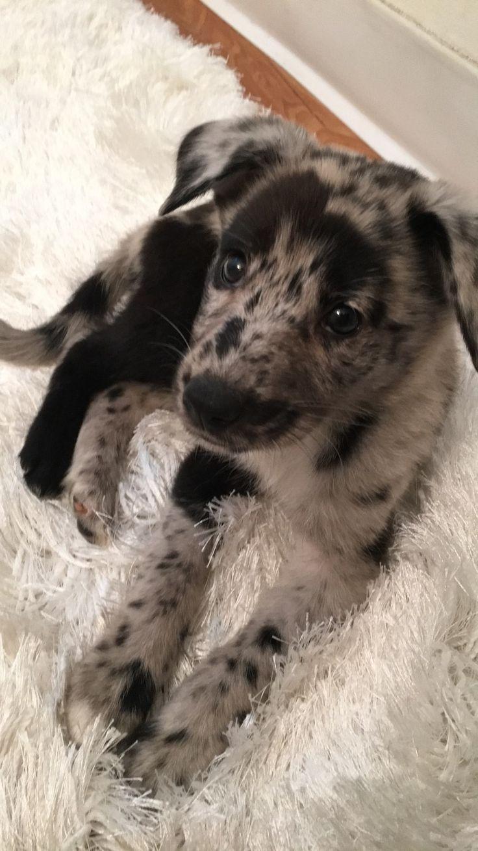 German Shepherd / Australian Shepherd puppy mix (H…