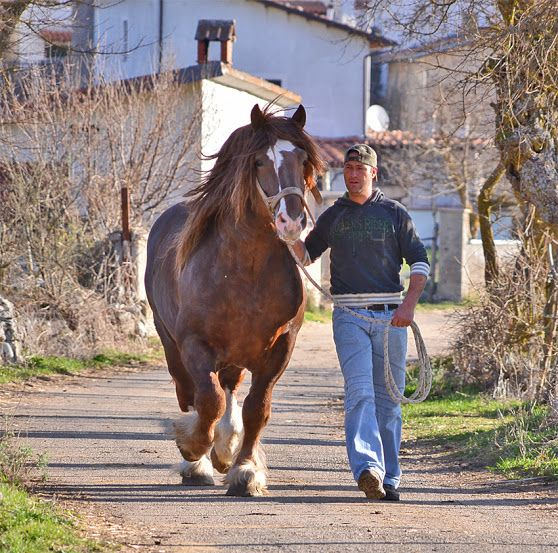 CAVALLO AGRICOLO ITALIANO DA TIRO PESANTE RAPIDO, TPR. In 1976, a breed association was formed in Italy to preserve and promote the Italian Heavy Draft. The association is charged with maintaining the stud book, evaluating breeding stock, granting equine passports, maintaining genetic databases, and exhibiting the breed.