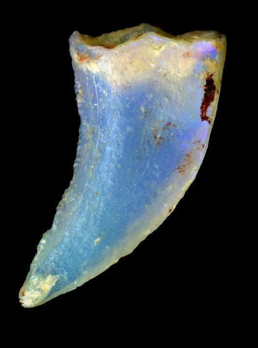 Opalised theropod dinosaur tooth. Lightning Ridge, New South Wales. Photographer: Carl Bento ©Australian Museum
