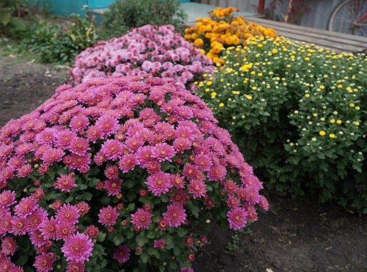Запомните! Как вырастить шикарные хризантемы?