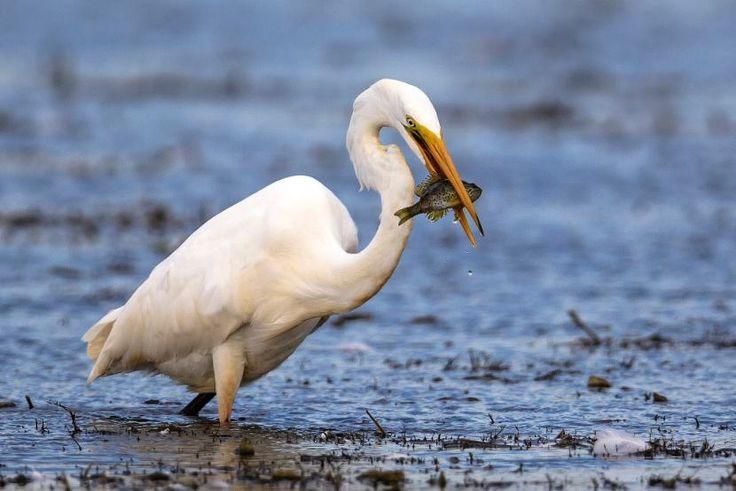 Czapla biała. Jest dużym ptakiem o śnieżnobiałym upierzeniu, o długości ciała nawet do 102 cm. Od niedawna przylatuje do Polski w okresie lęgowym.