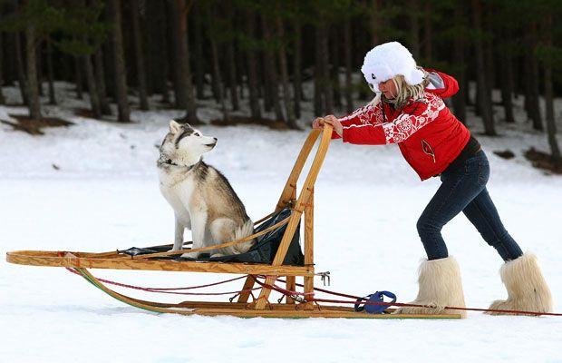 Aviemore Husky Sled Dog Rally - Google Search