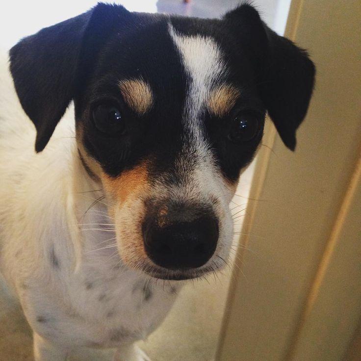 Happy National Dog Day! We love our itty bitty rescue dog Lizzy! #nationaldogday 🐶 With @brettatx @lizzydogatx #puppiesofinstagram #lizzydog #barkhappy #atxdogs #dogsofaustin #austindogs #texaspups #dogsofinstagram #doggielove #rescuedog #AdoptDontShop #pets_of_instagram #puppiesofinstagram #mixedbreeddog #chihuahuamix #cutenessoverload #gratitude #ilovedogs 🐾