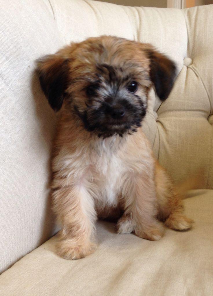 Cute chihuahua Yorkie mix New Puppy Pinterest