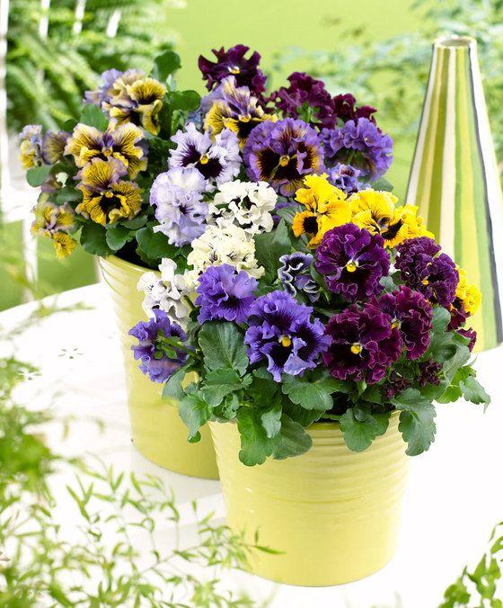 Viooltjes 'Frizzle Sizzle F1' gemengde kleuren  Deze nieuwe vorm van viooltjes is heel bijzonder. De bloemen zijn gegolfd aan de randjes waardoor ze een sterk gekruld uiterlijk hebben. Deze violen zijn net zo winterhard als de andere violen. Ze bloeien vanaf het najaar en gaan in de winter door zolang het niet heel hard vriest. In elke tuin is er wel een geschikte plek te vinden voor deze vrolijk gekleurde violenmix.  EUR 4.25  Meer informatie