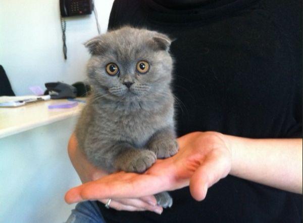 Cute Scottish Fold kitten. pets Pinterest Scottish