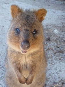 Best Quokka Images On Pinterest Beautiful Board And Cute Things - 15 photos that prove quokkas are the happiest animals in the world