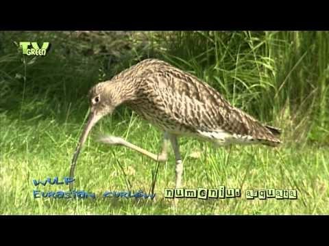wulp - wylp - Numenius arquata - Eurasian Curlew - Große Brachvogel - Courlis cendré - hiurlo maggiore - zarapito real - Storspov - Storspoven -  © broadcast format available at: http://www.stockshot.nl/