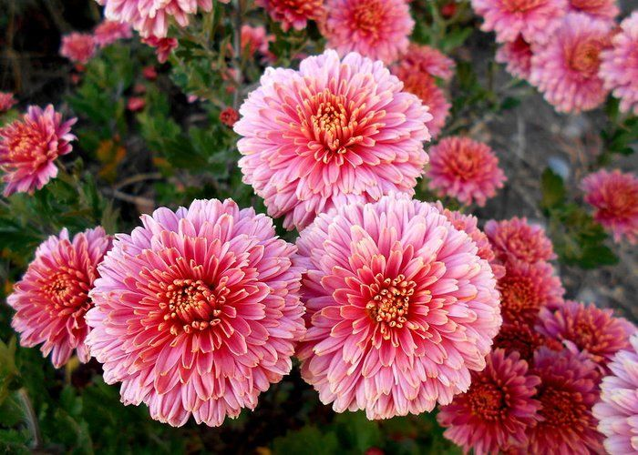 Lovely Greeting Card featuring the photograph Lovely Pink Chrysanthemums by Erika H