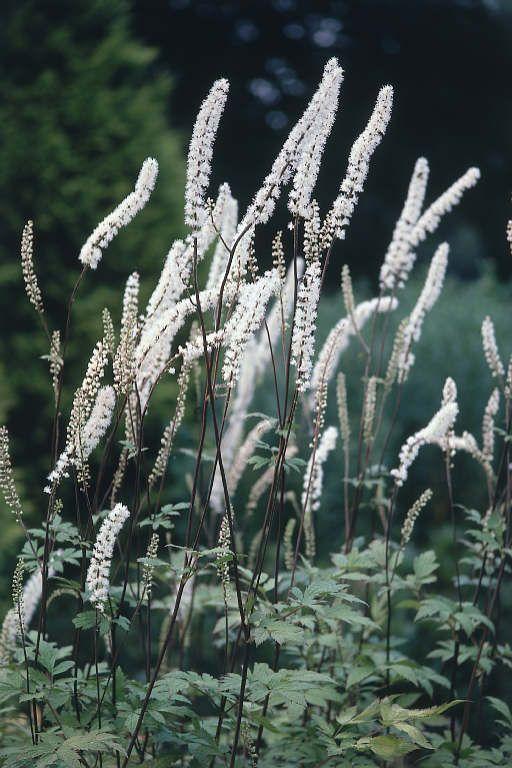 Actea simplex 'White Pearl' - zilverkaars / Christoffelkruid - Vaste planten | Maréchal