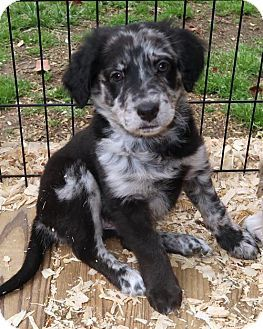 Australian Shepherd Mastiff Mix